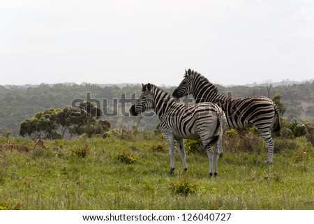 Zebra in the Eastern Cape - stock photo