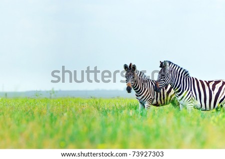 Zebra in the fresh green spring steppe
