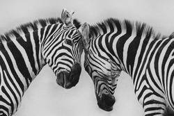 zebra in wildlife, abstract with lines and closeup black and white