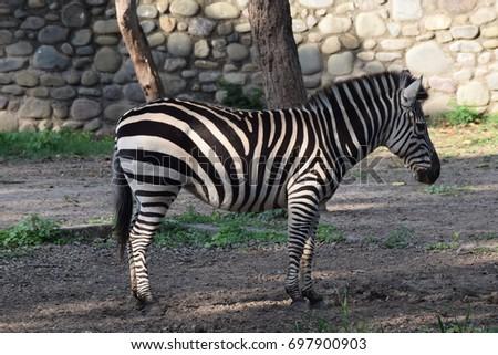 Zebra in Zoo #697900903