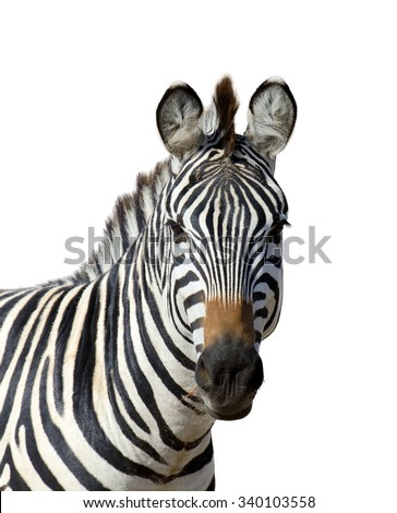 Zebra isolated on white background #340103558