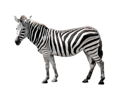 zebra isolated on white background with clipping path