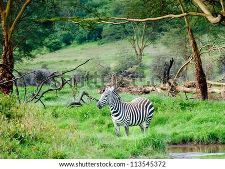 Zebra, Kenya - stock photo