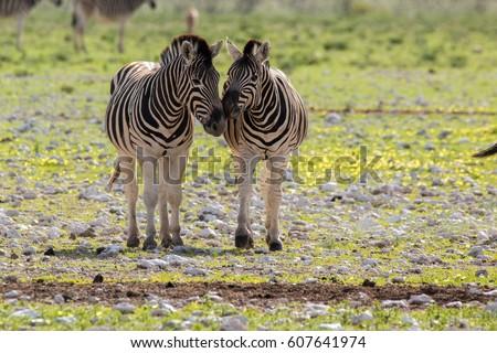zebra mammal savannah etosha national park namibia country africa