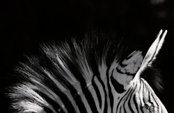 Zebra mane and ears close-up
