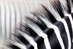 Zebra mane detail. Abstract closeup showing the black and white striped mane of one focused animal against a defocused on in the background. Space for text.