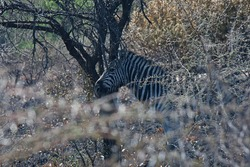 ZEBRA OBSCURED BY VEGETATION AND YOUNG THORN BUSH