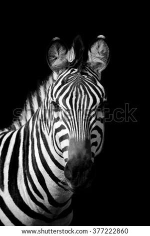 Stock Photo Zebra on dark background. Black and white image