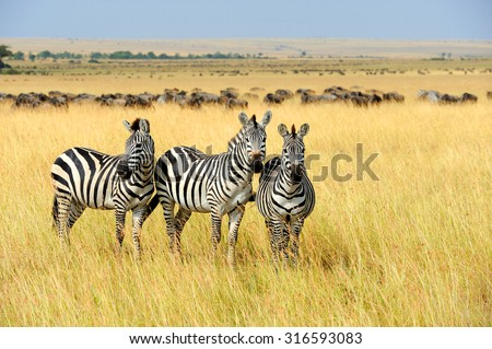 Zebra on grassland in Africa, National park of Kenya #316593083