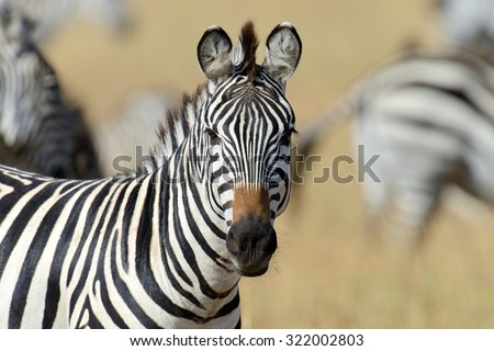 Zebra on grassland in Africa, National park of Kenya #322002803
