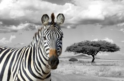 Zebra on grassland in Africa, National park of Kenya. Black and white photography with color zebra