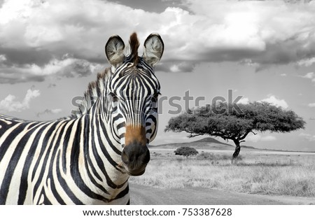 Zebra on grassland in Africa, National park of Kenya. Black and white photography with color zebra #753387628