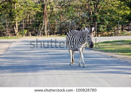 Zebra on street in the zoo,Thailand.