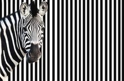 Zebra on striped background looking at camera