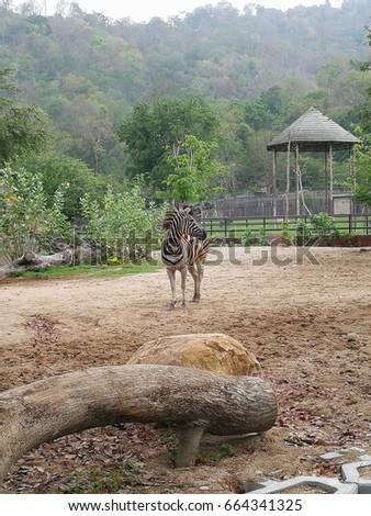 Zebra open zoo #664341325
