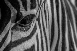 Zebra pattern eye stripes