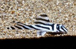 """zebra pleco (Hypancistrus zebra """"L046"""")"""
