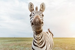 Zebra portrait. Adorable animal face looking to the camera. big nose. shallow depth of field nose in focus. Funny muzzle.  Looking with curiosity and suspicion. chewing, talking, surprised, wondering
