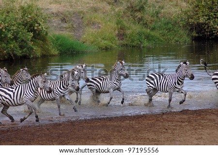 Zebra running out of a small river