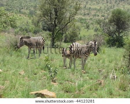 Zebra's - stock photo