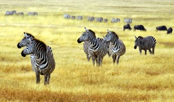 zebra' s grazing on grassland in Africa