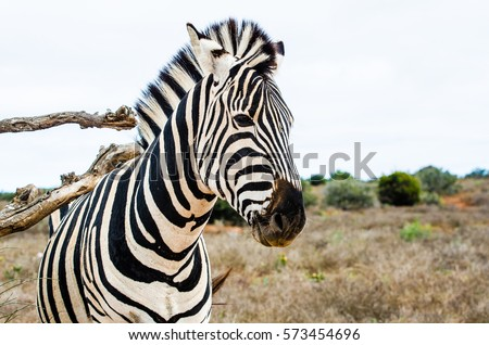 Zebra scratching its back in Addo National Elephant Park, Eastern Cape, South Africa #573454696