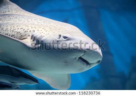 Zebra shark or Leopard shark (Stegostoma fasciatum) close-up with suckerfishes (Remora remora)