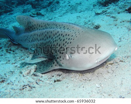 Zebra shark relaxing at the sand bottom