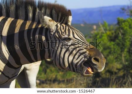 Zebra showing his teeth