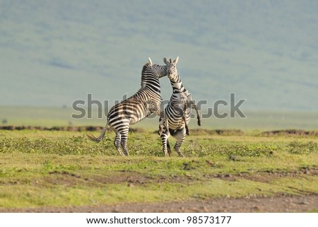 Zebra stallions fighting in Ngorongoro Crater in Tanzania, Africa