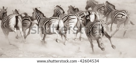 Zebra stampede in a cloud of dust : Etosha