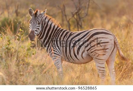 Zebra standing in the bush