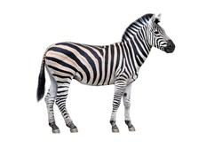 Zebra standing isolated on white
