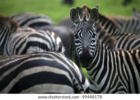 Zebra Stares at Photographer on Serengeti Tanzania East Africa