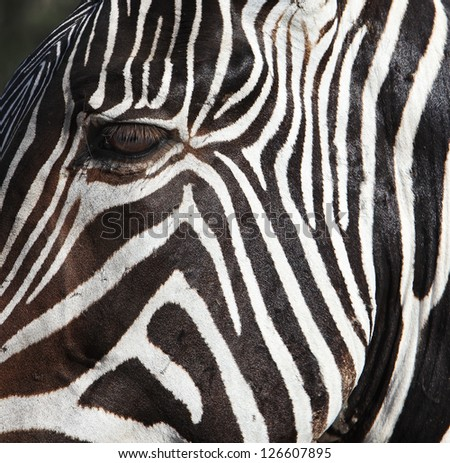 Zebra strip close up portrait