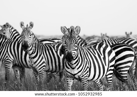 Zebra Stripes from Masai Mara