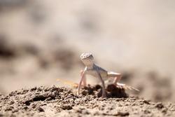 Zebra-tailed lizard (Callisaurus draconoides) in desert of Death Valley National Park, California, USA