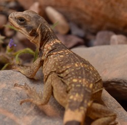 Zebra-tailed lizard in Death Valley