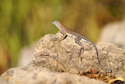 Zebra-tailed lizard sunbathing in the morning Arizona sun