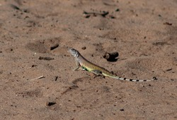 Zebra-tailed Lizard with a colorful green belly on a sandy desert wash trail