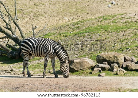Zebra walking on the road and looking for food