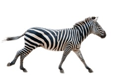 Zebra. Wild animals on the African grasslands, zebras.