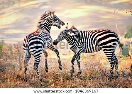 Zebra. Wild animals on the African grasslands, zebras. #1046369167