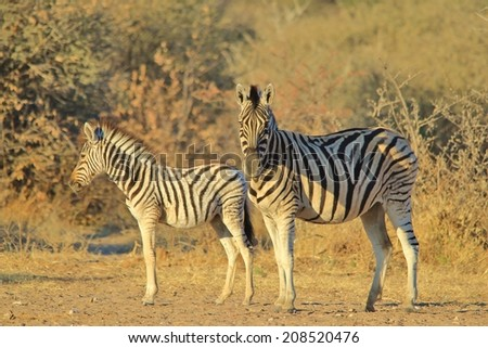 Zebra - Wildlife Background from Africa - Stripes and Contrasts from Nature