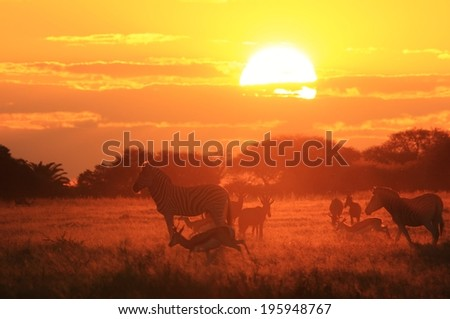 Zebra - Wildlife Background from Africa - Sunset Faded Shadows of beautiful colors in Nature