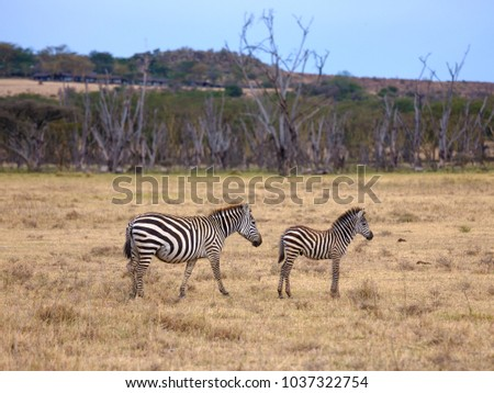 Zebra with a foal