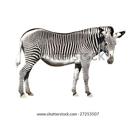 zebra with clipping path