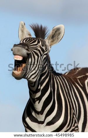 Zebra with mouth open looking like it is laughing #45498985