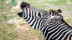 Zebra with open mouth trying to eat green foliage,hungry animal,wild environment,close-up.