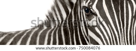 Zebra (4 years) in front of a white background #750084076